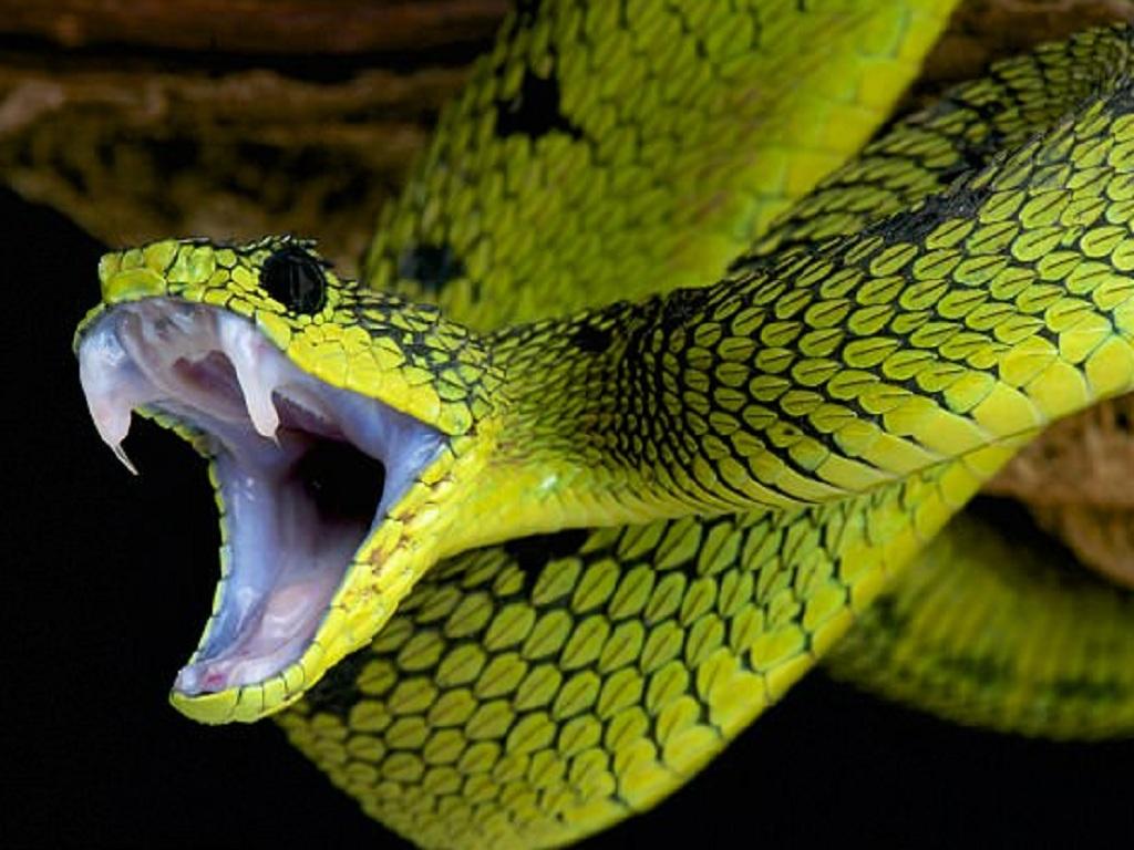 Nguồn gốc của nọc độc trong răng nanh rắn